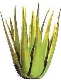 Anwendung Aloe Vera Pflanze - Aloe-vera.or.at Aloe Vera Pflanze Pflege Anwendung